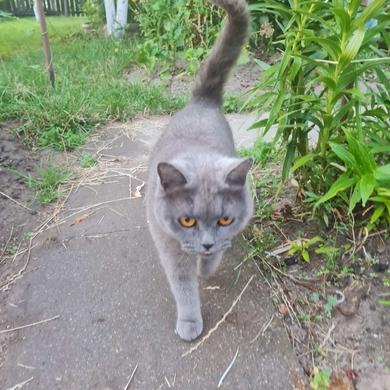 Найдена Британская кошка Пуховичский р-н