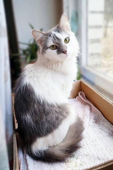 Настоящая Принцесса, пушистая кошка в добрые руки!, фото 2