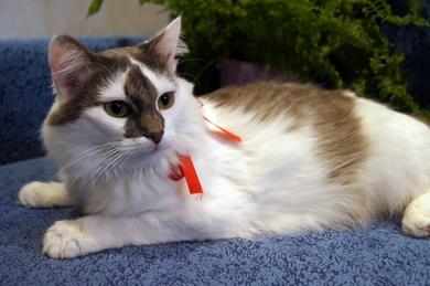 Настоящая Принцесса, пушистая кошка в добрые руки!, фото 4