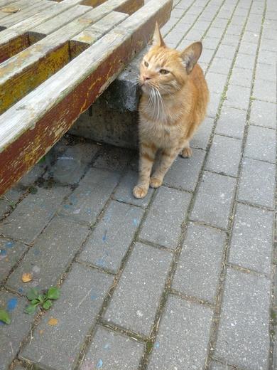 Замечен рыжий кот, похоже, что потерялся.