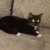 Молодой котик, 1,5 года гладкошерстный, черный с белым