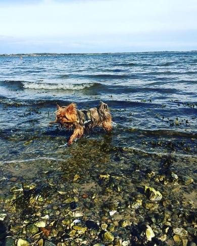 Потерялась собака!!!  Йоркширский терьер. Рыже-серый. Ромео., фото 2
