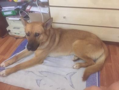 Найдена собака с ошейником. Минск, возле е-сити, ул. Денисовская 8. , фото 4