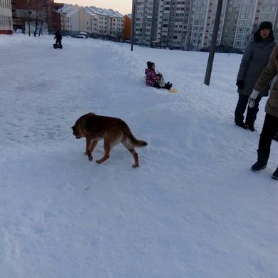 Рыжая собака, фото 2