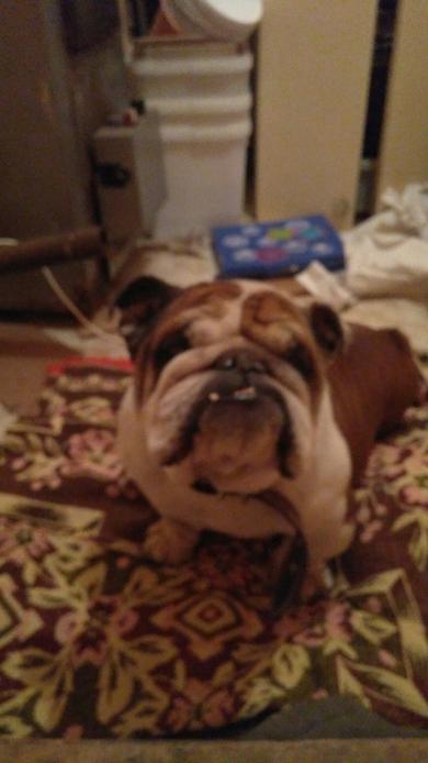 Найдена собака, английский бульдог, кабель, г. Минск центральный район. +375256836550 Артём, фото 4