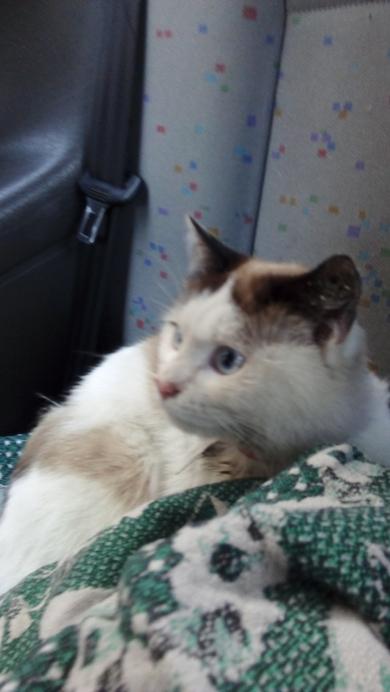 Кто потерял кота, с голубыми глазами и красным ошейником