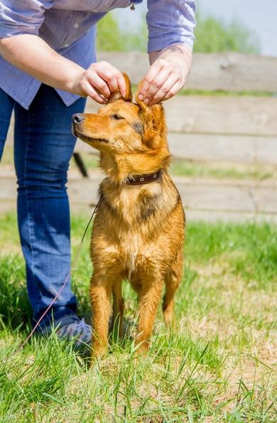 Небольшая, рыжая, ласковая собачка в дар, фото 3