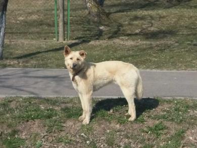 Найден пес песочного окраса в районе школы в Лососно