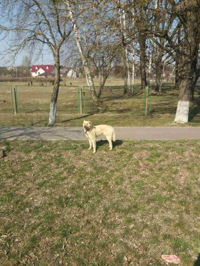 Найден пес песочного окраса в районе школы в Лососно, фото 4