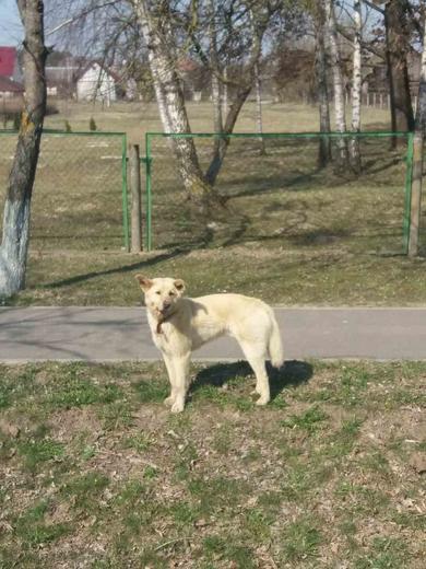 Найден пес песочного окраса в районе школы в Лососно, фото 3