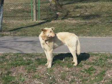 Найден пес песочного окраса в районе школы в Лососно, фото 2
