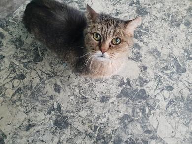 Найдена кошка британская/шотландская в районе Золотой горки
