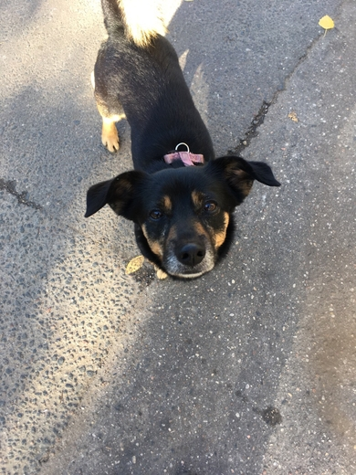 В районе улицы БЕЛЬСКОГО замечена маленькая черная собака, явно домашняя
