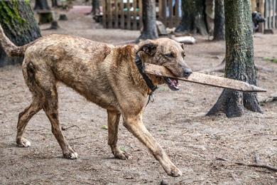 Тигровая собака Бэтти, фото 4