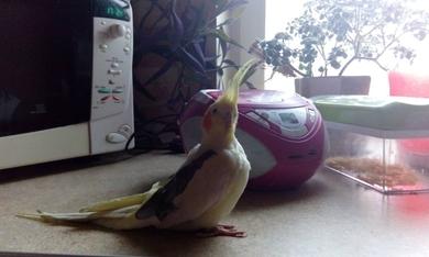 Пропал попугай